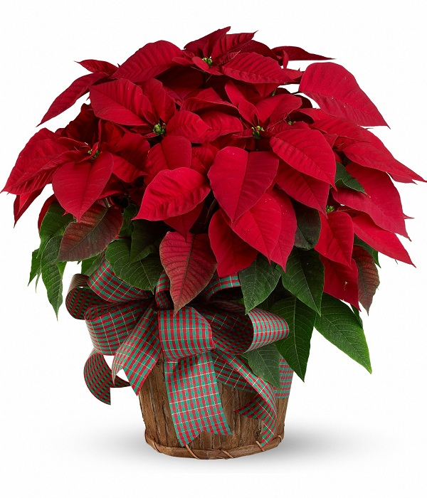 Supreme Poinsettia Basket